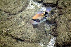 Picasso triggerfish blowing out the unwanted debris through its gills.JPG