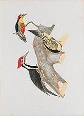 Picus erythocaster - Picus flavescens - Picus erythrocephalus