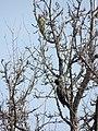 Picus viridis, Dryocopus martius.jpg