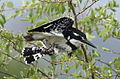 Pied Kingfisher, Ceryle rudis at Pilanesberg National Park, South Africa (15990956815).jpg
