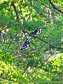 Pied Kingfisher (Ceryle rudis) (15706648400).jpg