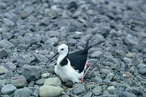 Black stilt - Pied stilt (Himantopus himantopus) on nest