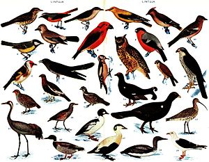 "29 different birds of Finland, from a 1925-1928 encyclopedia, ""Pieni Tietosanakirja"", now in the public domain"