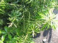 Pieris japonica Pygmaea 0zz.jpg