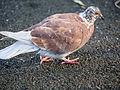 Pigeon (11162190634).jpg