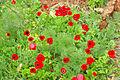 PikiWiki Israel 19075 Plants of Israel.JPG
