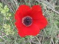 PikiWiki Israel 44014 KALANIT.JPG