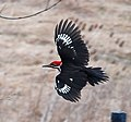 Pileated Woodpecker!, crop.jpg