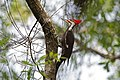 Piliated woodpecker male six mile cypress slough (16351087675).jpg
