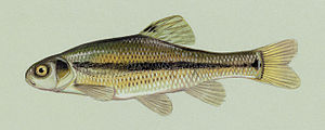 Fishing bait - A common bait fish (fathead minnow)
