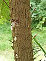Pinales - Wollemia nobilis - 3.jpg