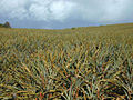 Pineapple.plantation.jpg