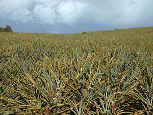 Ananas - Image: Pineapple.plantation