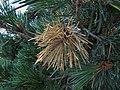 Pino con hongos Diplodia pinea (7494221052).jpg