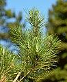 Pinus brutia 04.jpg