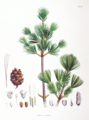 Pinus parviflora SZ115.png