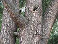 Pinus sylvestris 9124.jpg