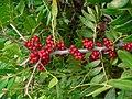 Pistacia lentiscus 002.jpg