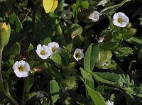 Plagiobothrysacanthocarpus.jpg