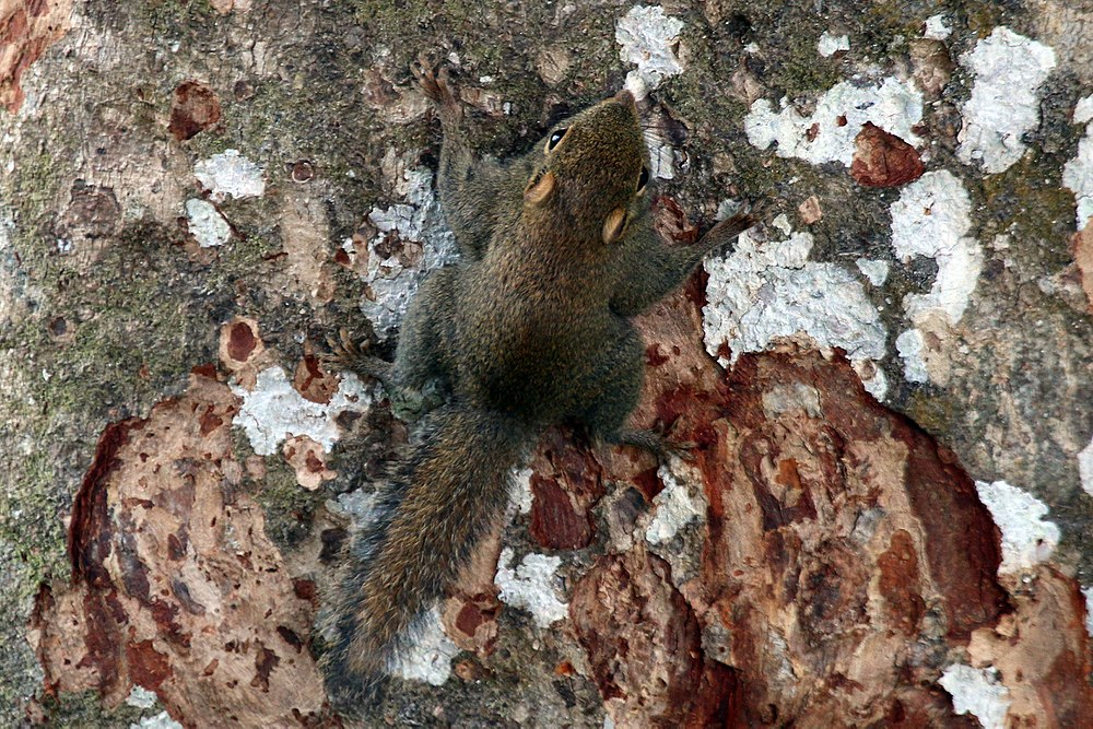 The average litter size of a Least pygmy squirrel is 2