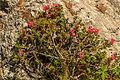 Plants from Sassolongo 32.jpg