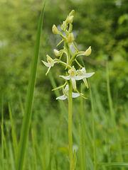 Platanthera bifolia (flower spike).jpg