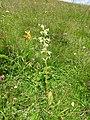 Platanthera chlorantha 25.jpg