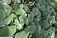 Plectranthus argentatus 0zz.jpg