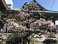 Plum tree in Tochoji Temple.jpg