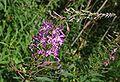 Pod lipskiem kwiat do identyfikacji 17.07.09 pl1.jpg