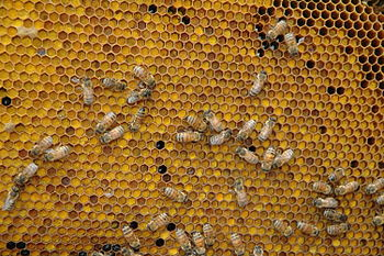 Pollen Comb of Honeybee Hive