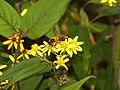 Pollination Honey Bee Asteraceae IMG 8437.jpg