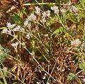 Polycarpaea corymbosa W IMG 3047.jpg