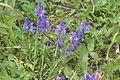Polygala alpestris (Alpen-Kreuzblume) IMG 25718.JPG