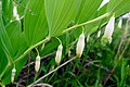 Polygonatum odoratum (Convallariaceae) (34958769744).jpg