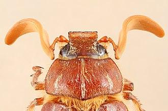 Polyphylla - Polyphylla monahansensis