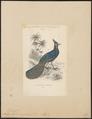 Polyplectron emphanum - 1833-1866 - Print - Iconographia Zoologica - Special Collections University of Amsterdam - UBA01 IZ16900193.tif