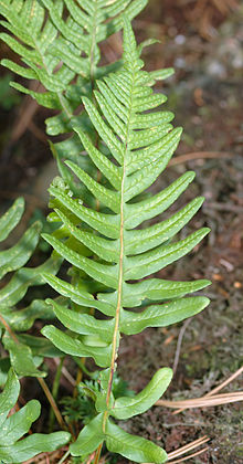 Polypodium vulgare - close-up (aka).jpg