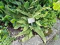 Polystichum setiferum - Botanischer Garten, Frankfurt am Main - DSC03385.JPG