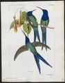 Polytmus macrourus - 1820-1860 - Print - Iconographia Zoologica - Special Collections University of Amsterdam - UBA01 IZ19100037.tif