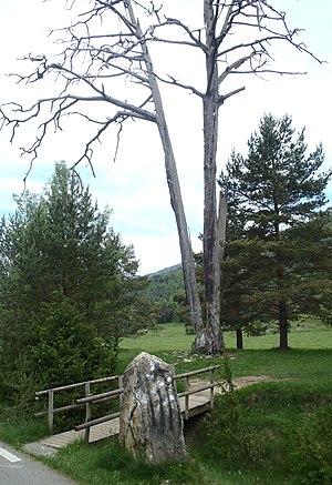 Pi de les Tres Branques - Pi de les Tres Branques in 2012