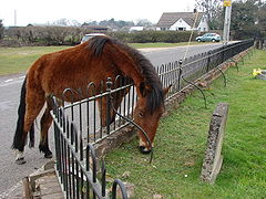 Pony grazing at Ibsley Church.jpg