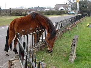Ibsley - Image: Pony grazing at Ibsley Church