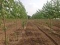 Poplar trees - panoramio.jpg