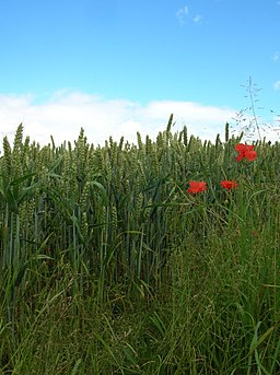 Poppies and Corn - geograph.org.uk - 490864