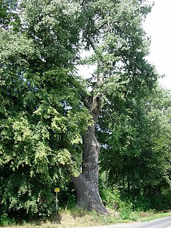 Populus alba, Czajecice, 20060812 1358.jpg