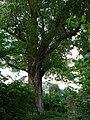 Populus nigra Dreieichenhain.jpg