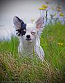 Portrait of a Dog (4760643633).jpg