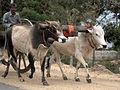 Pothuvil Eelam Tamil Bull Cart.jpg