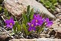 Primula angustifolia - Flickr - aspidoscelis.jpg